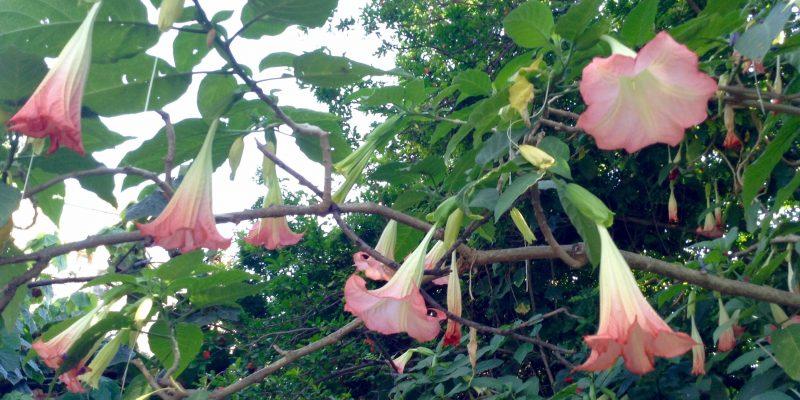 """""""En el parque del Castillo, hay plantas tropicales como las trompetas de angel"""""""