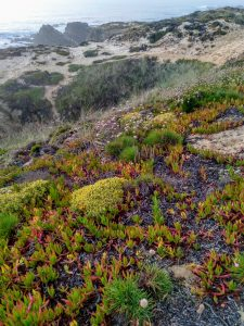 Chorão-das-praias (Uña de gato, carpobrotus edulis). Playa de Almograve