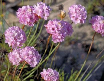 Cravo-das-areias (armeria pugens)