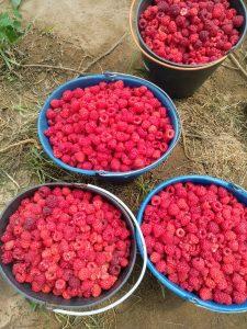 """Cerca del 90% de la producción nacional de frambuesa se concentra en la comarca de Odemira. """"Dom da Terra"""" está especializada en la producción de esta fruta fina a escala familiar"""